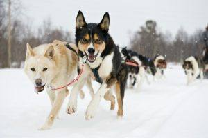 Dog Sledding in Norway by Terje Rakke/Nordic Life - Visitnorway.com