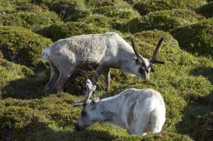 Reindeer. Photo by Johan Wildhagen Innovation Norway