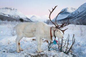 Reindeer by Konrad Konieczny, Visit Nord Norge