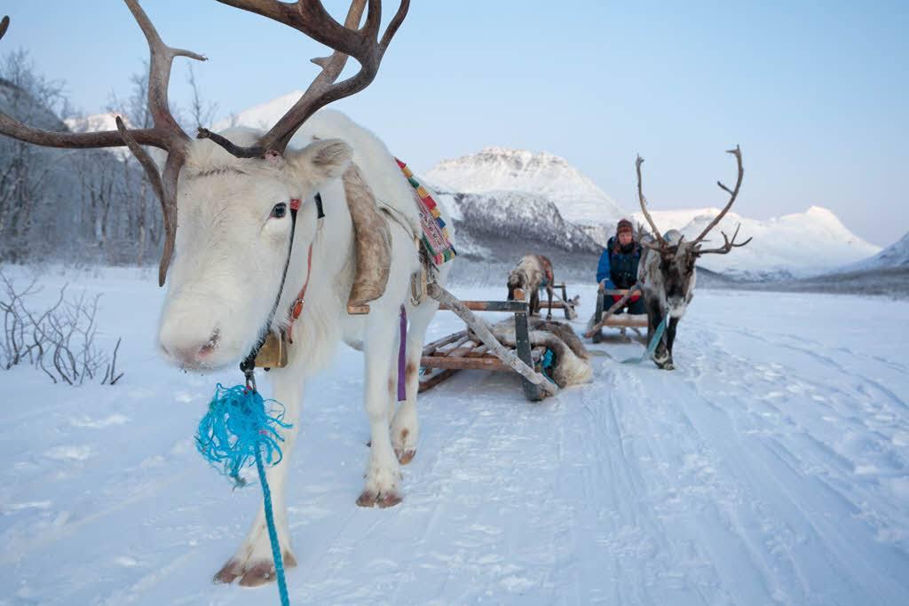 Reindeer sledding Tromso by Hurtigruten