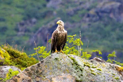 Sea Eagle at Lofoten islands Norway