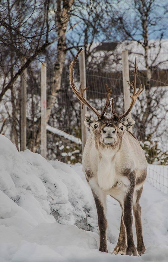 Reindeer park by the Snow hotel. Photo by Kirkenes snow hotel