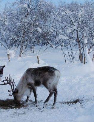 Snow Hotel Kirkenes, Reindeer park. Photo by Raymond Fishman, Hurtigruten