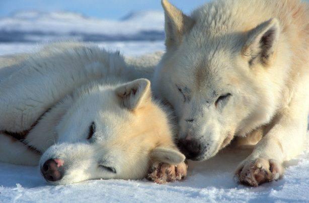 Sledge dogs  Picture by Bjorn Klauer Visitnordnorge