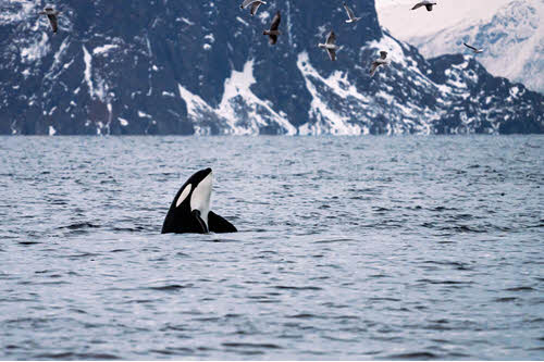 Enjoy a whale watching tour in Tromso by Brim Explorer