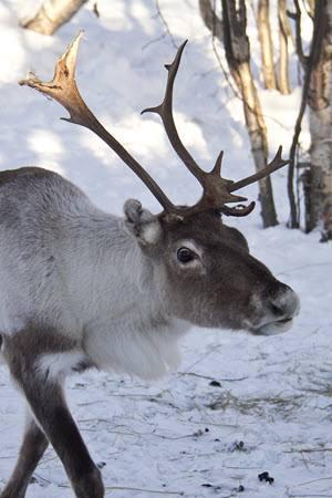 Reindeer in Kirkenes by Judith Denham, Hurtigruten