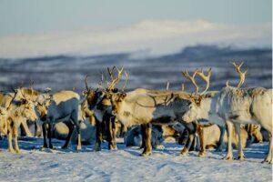 Reindeer in Norway by Thomas Rasmus Skaug, Visit Norway