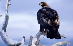 Golden Eagle On Branch By Asgeir Helgestad, Visit Norway