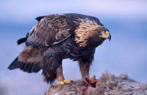 Majestic eagle in Norway. By Asgeir Helgestad, Visit Norway