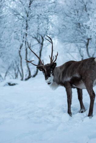 Reindeer Park At Kirkenes Snowhotel By Kirkenes Snowhotel