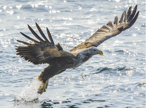 Sea Eagle in Lofoten by Ismaele Tortella, Visit Norway